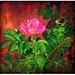 --- rosa rugosa ---
