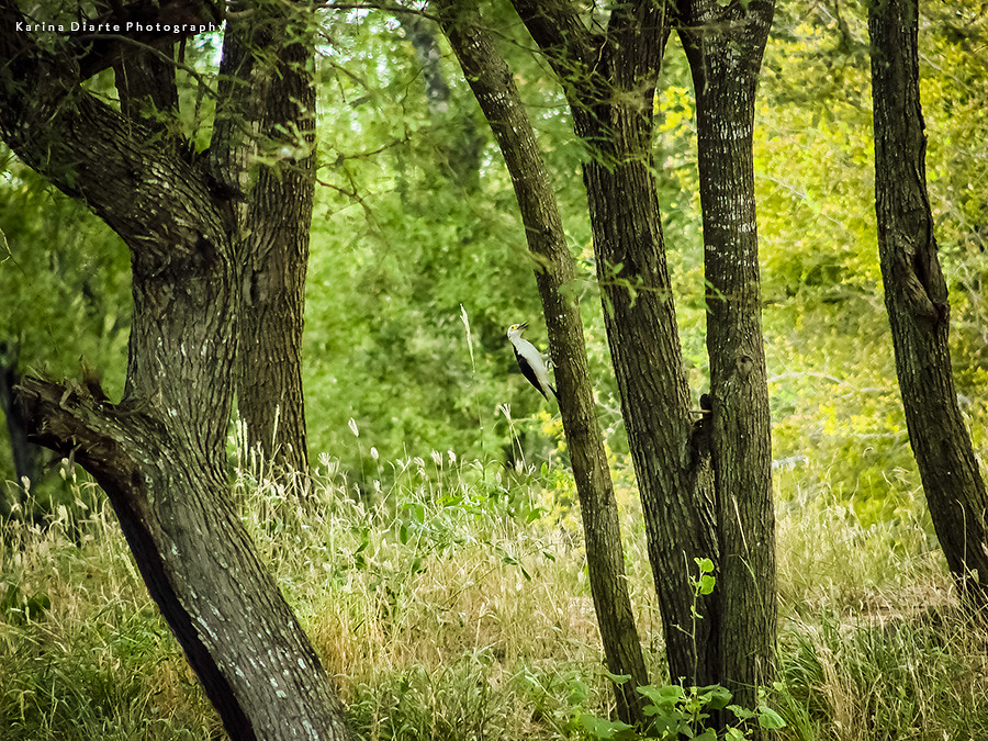 Carpintero Blanco / White Woodpecker