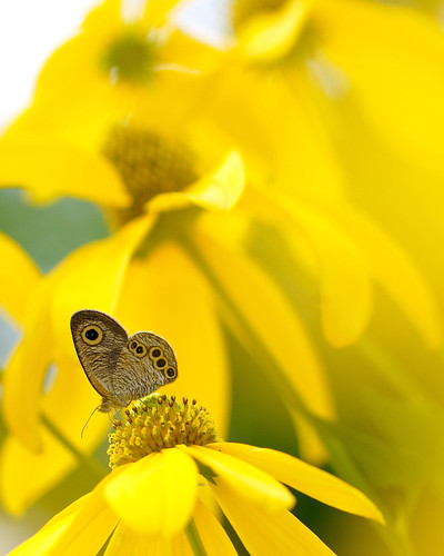 butterfly (Ypthima argus ) in yellow | by myu-myu