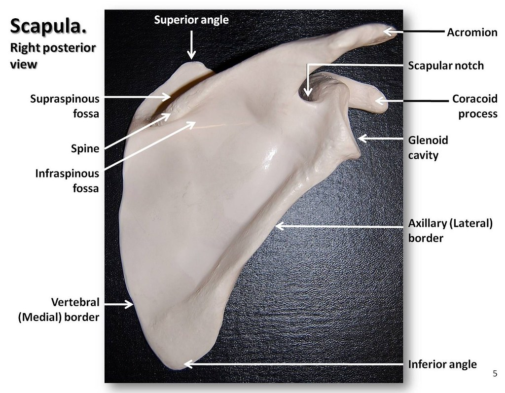 Scapula, posterior view with labels - Appendicular Skeleto… | Flickr