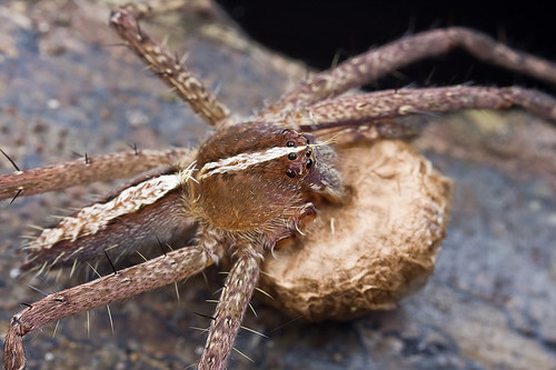 Nursery web spider with egg sac.......IMG_2025 copy | by Kurt (OrionHerpAdventure.com)