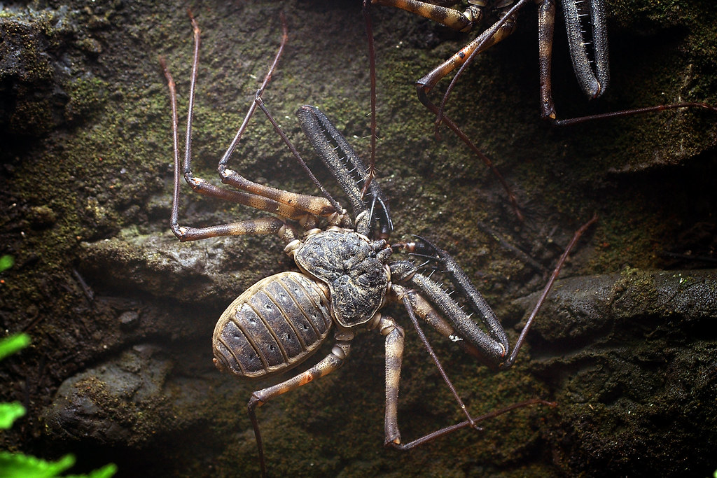 African Spider African Whip Spider | by