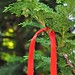 A red ribbon for luck on an evergreen for long life