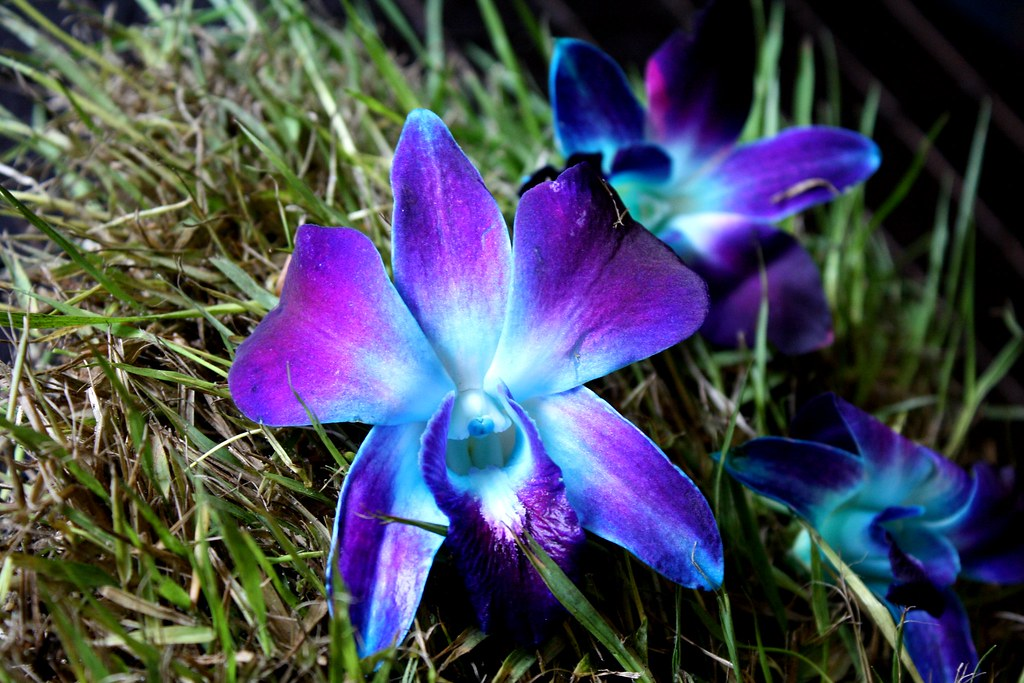 Blue And Purple Orchid Jeanette Echevarria Flickr