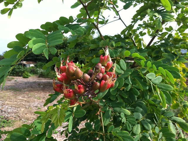 Native Hawaiian Plants Flickr Photo Sharing