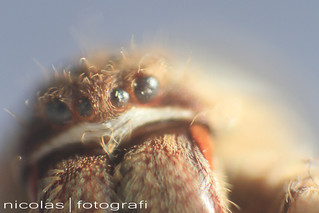 rain spider huntsman spider eyes 7 | by Nicolasfotografi