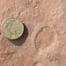 The Ediacaran fossil Dickinsonia from South Australia
