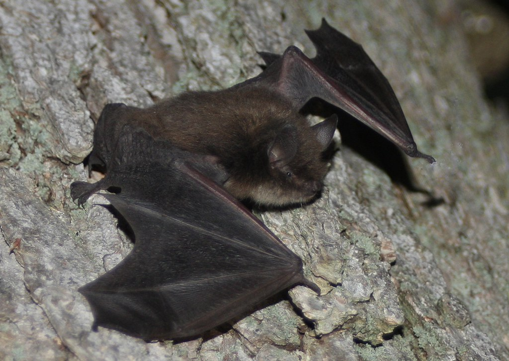 One little brown bat (Myotis lucifugus) can catch more than 1,000 ...