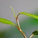 Polygonum sp. 'kawagoeanum'