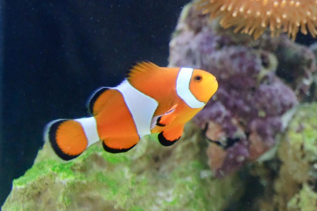 Ocellaris clownfish eric danley flickr for White fish types
