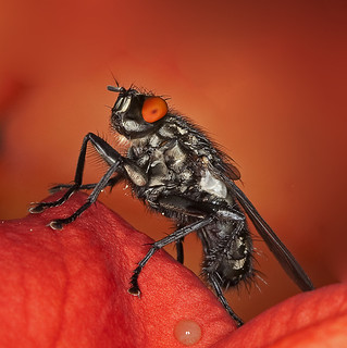 Marbled grey flesh fly - Graue Fleischfliege | by pe_ha45
