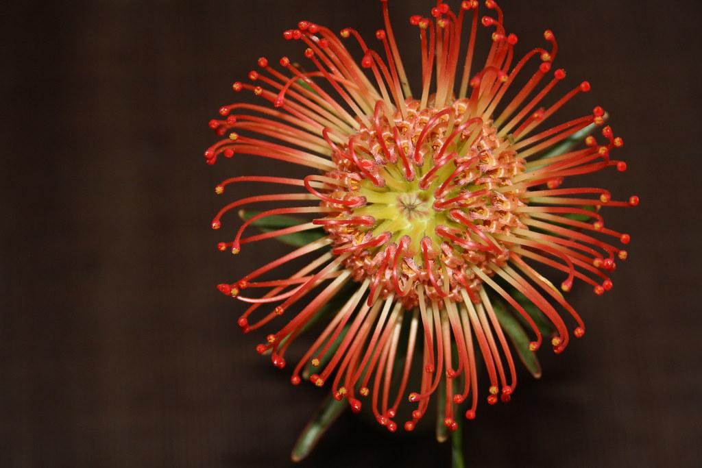 nutance c 39 est une fleur exotique qui tient tr s longtemps flickr. Black Bedroom Furniture Sets. Home Design Ideas