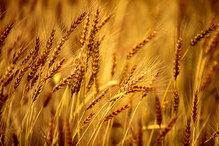 Bearded Barley | by www.toddklassy.com