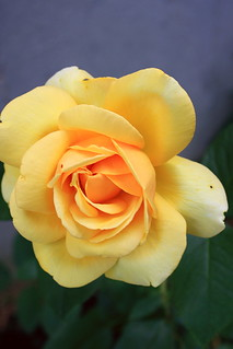 Yellow Rose | by robtm2010