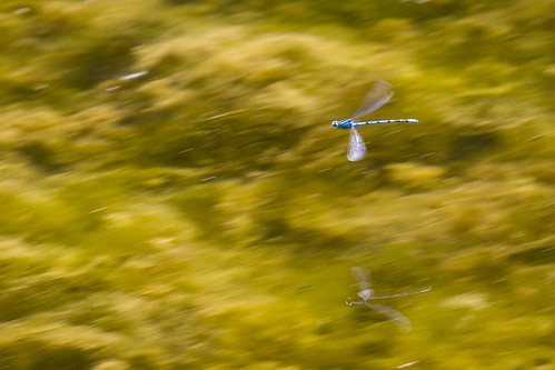 Damselfly in flight - Common Blue | by Roland Bogush