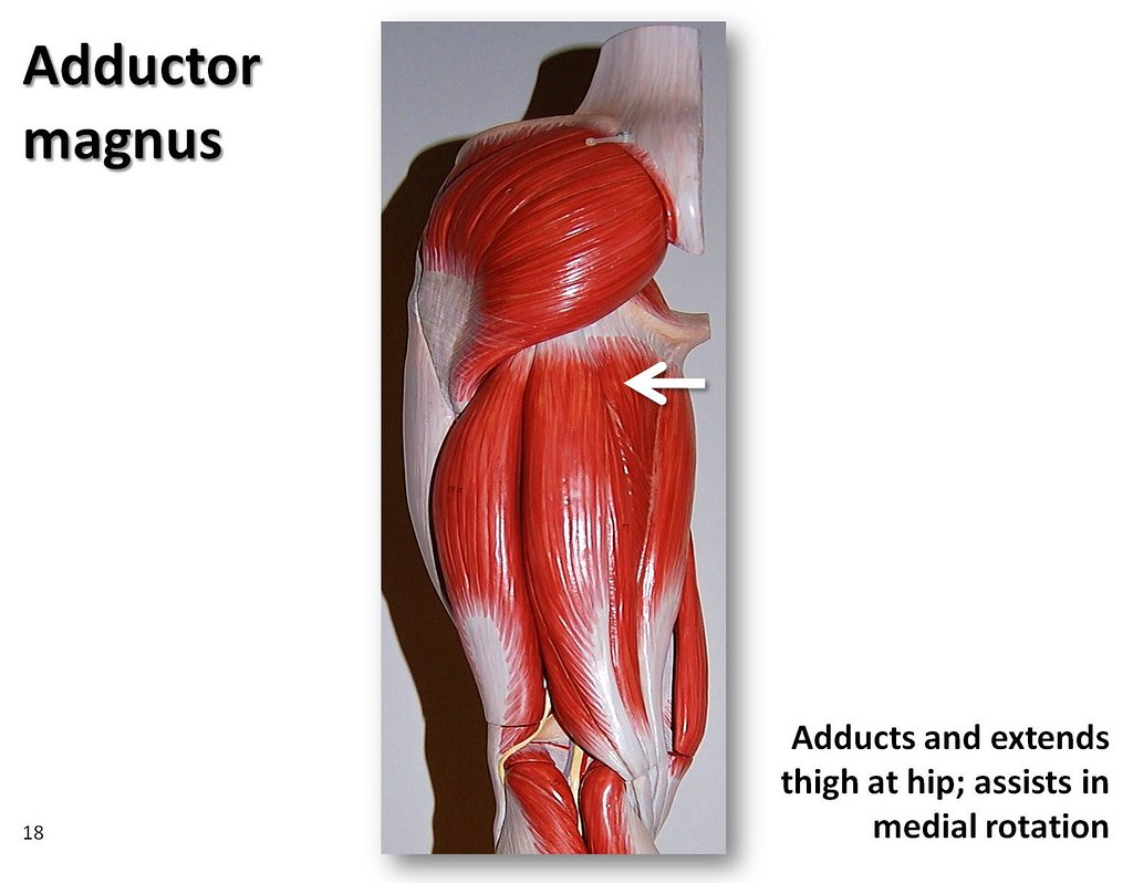 Adductor magnus - Muscles of the Lower Extremity Anatomy V… | Flickr