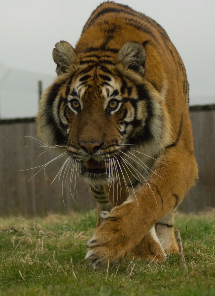 Tiger kills keeper at zoo in England