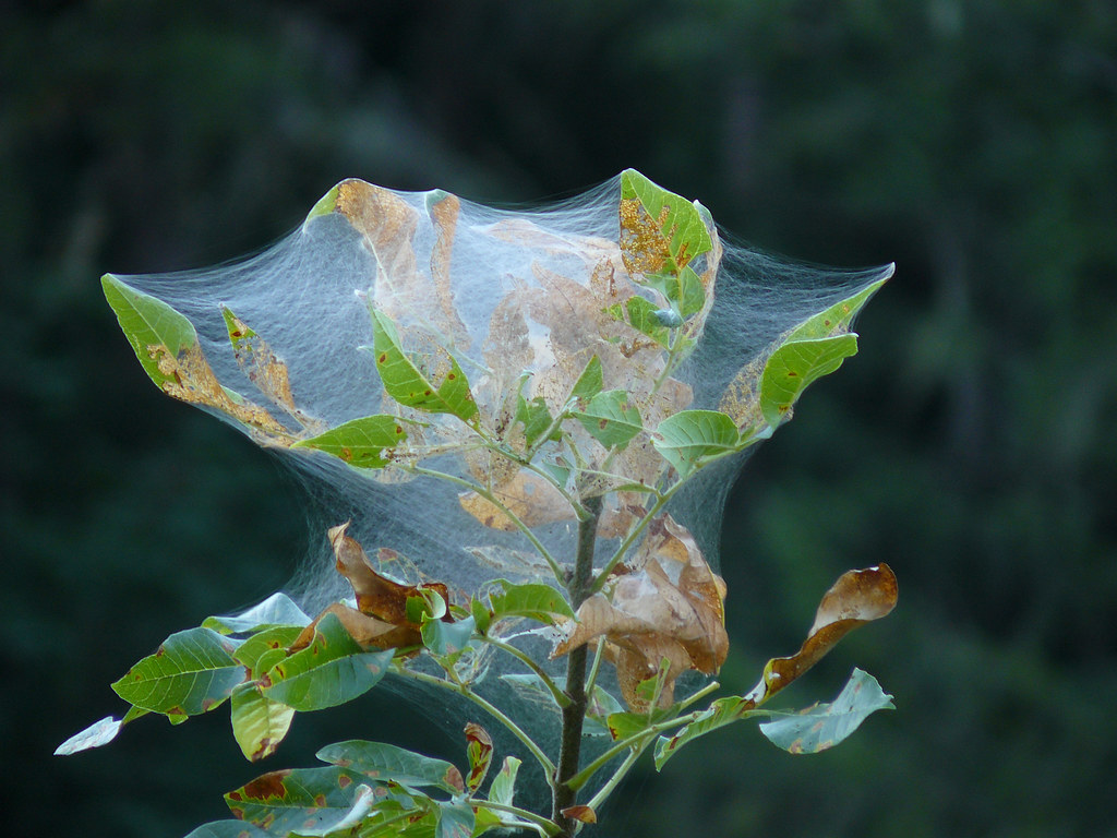 Tent Caterpillar - Mother Natures Finest Weaver | Found in ...
