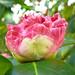 Spring 2010 Camellia