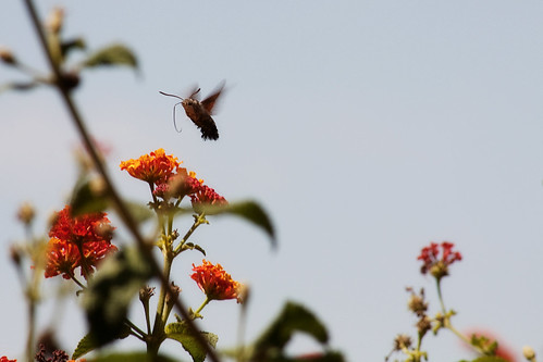 Hummingbird moth | by DollyArt