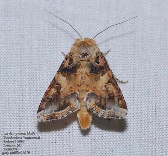 Fall Armyworm Moth (Spodoptera frugiperda) ♂ | Flickr - Photo ...