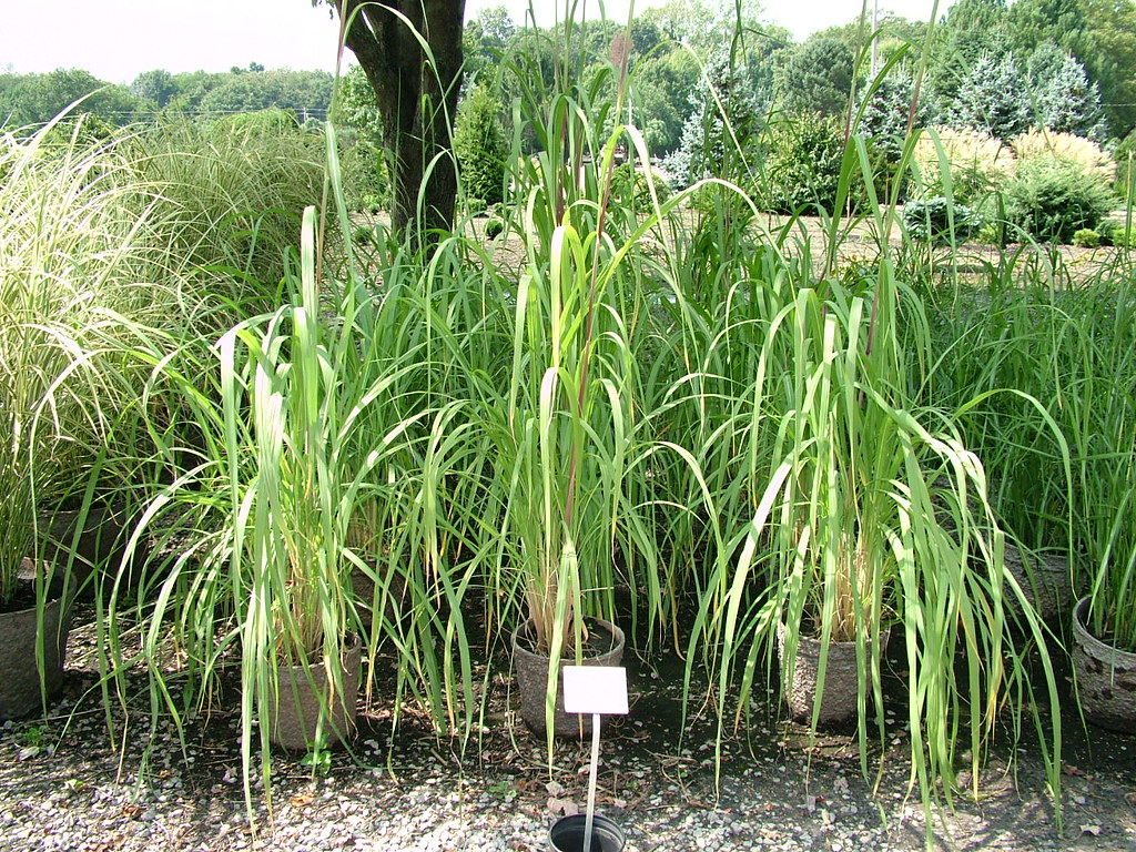 Hardy pampas grass grows to 12 39 tall and wide one of for Hardy tall ornamental grasses