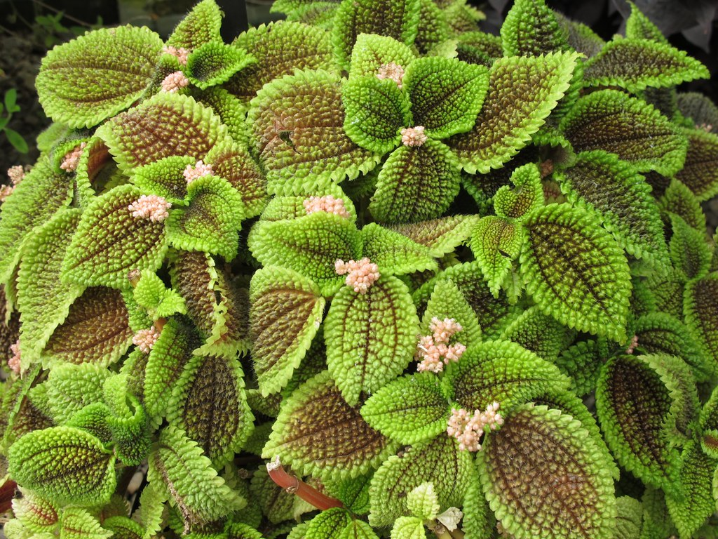 Moon Valley Pilea 'Pilea involucrata' | from the Buffalo and ...