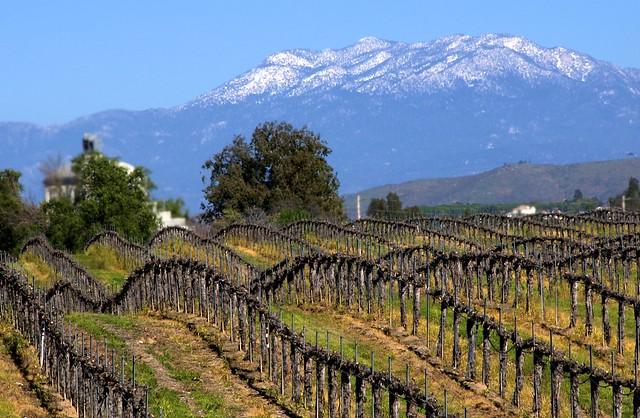 Temecula Vineyards- Winter | The grape vines look so naked