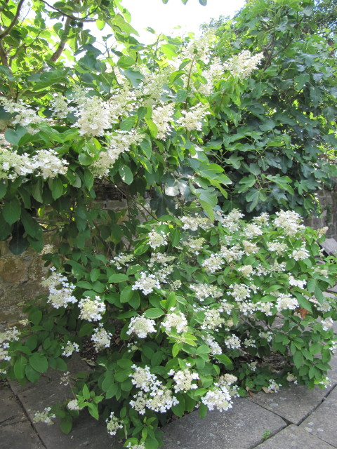 hydrangea paniculata 39 grandiflora 39 leonora ellie. Black Bedroom Furniture Sets. Home Design Ideas