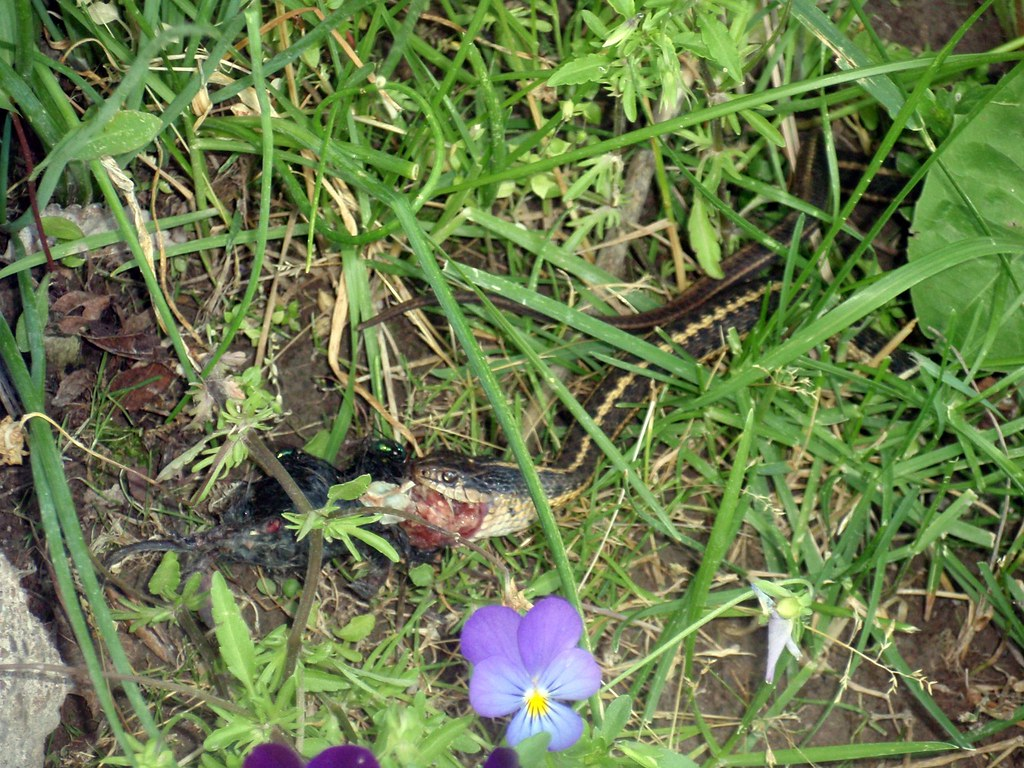 Garter Snake eating a mouse? | Thamnophis elegans vagrans ...