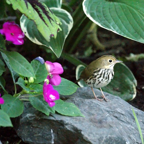 Ovenbird in the garden | by Mike's Birds