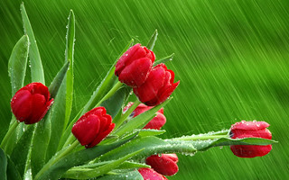 Tulips in the Rain | by Cicely Miller