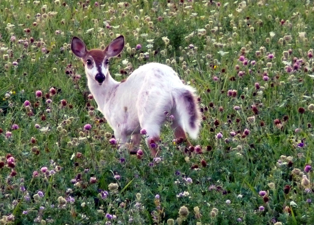 Piebald Deer A Piebald Deer In A Farmer S Field He S