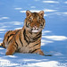 tiger_andyrouse_TG722A_00032