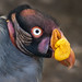 King vulture 02