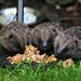 3 young hedgehogs feeding in our backgarden