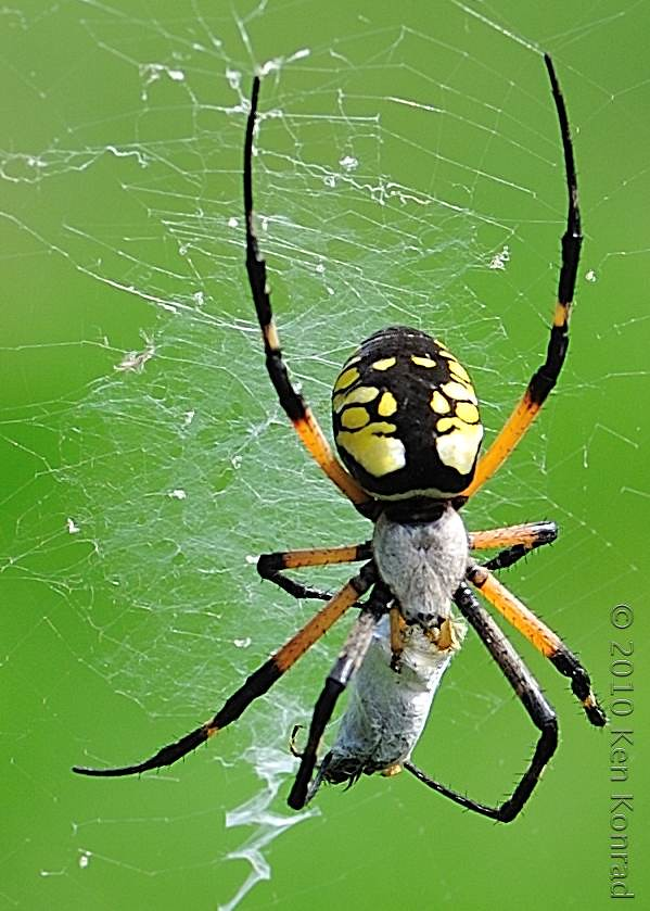 Common garden spider bluesguy from ny flickr for What does a garden spider look like