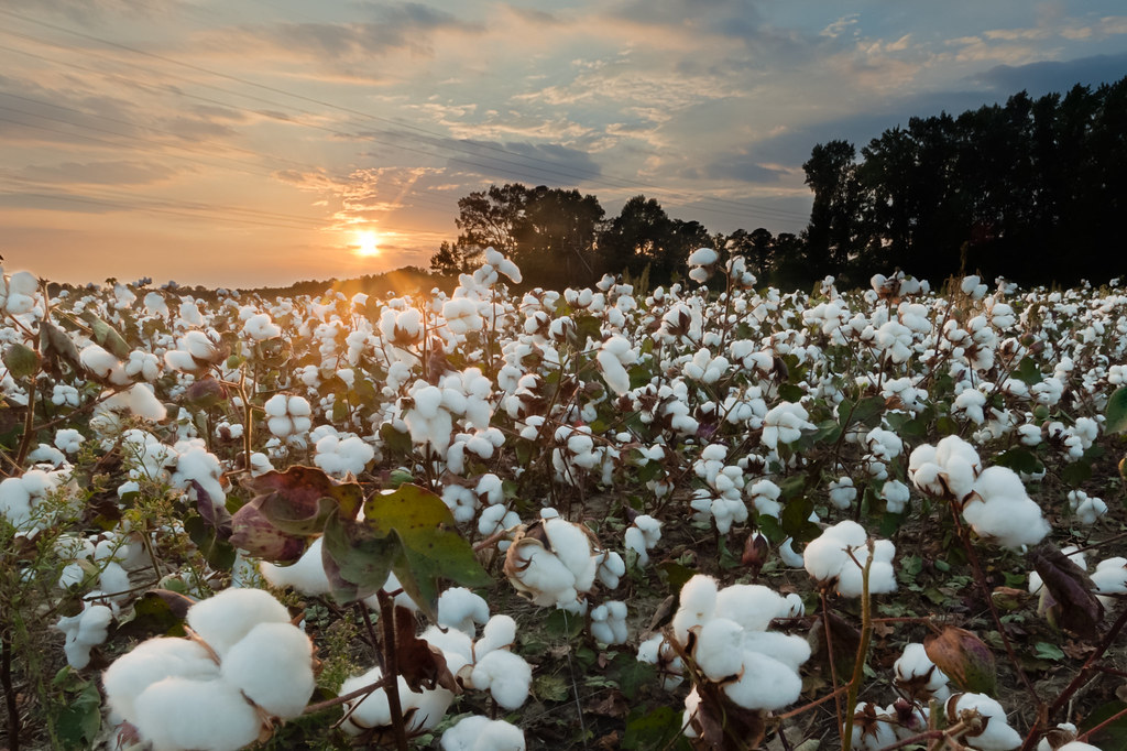 The misfit of cotton field