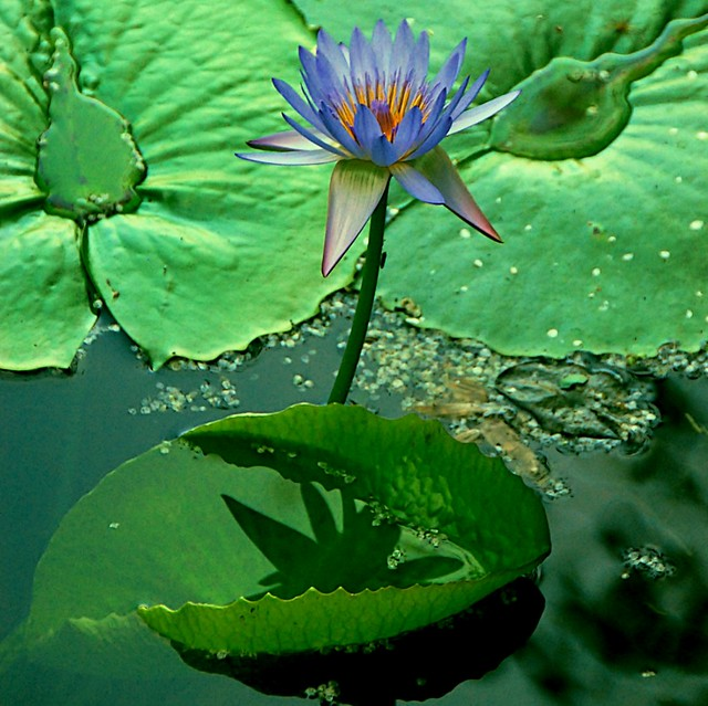 yellow water lily flower - photo #43