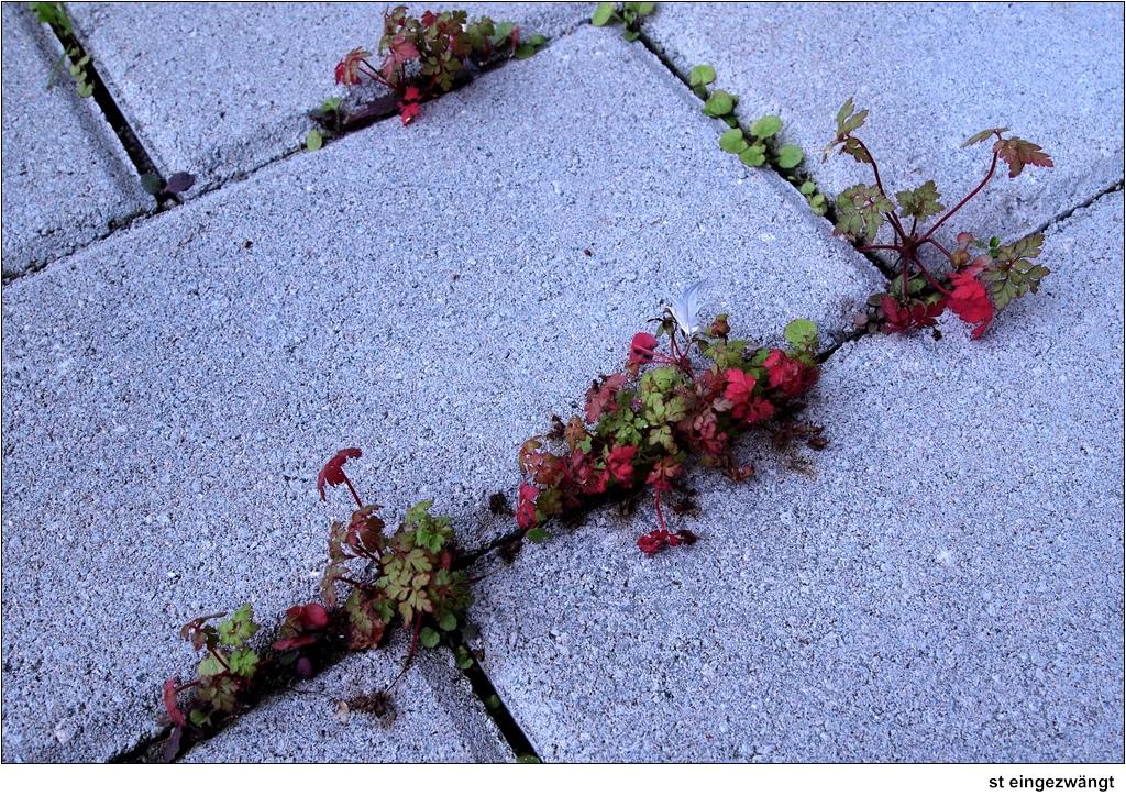 St eingezw ngt pflanzen zwischen pflastersteinen raum for Raum pflanzen