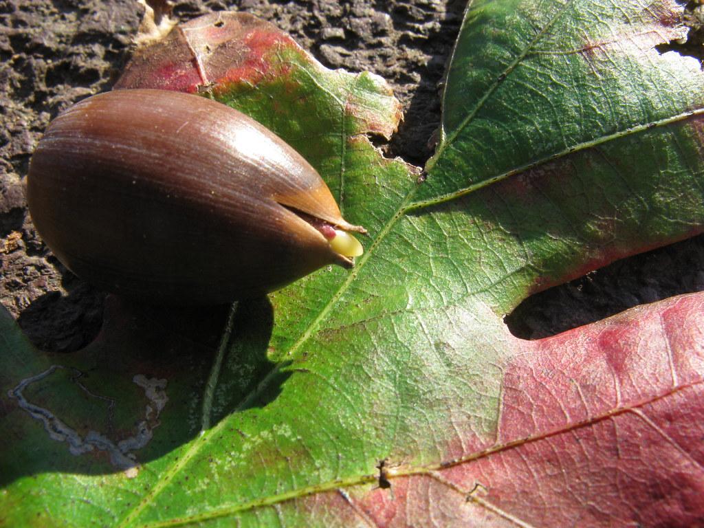 quercus alba acorn radical the root is already emerging