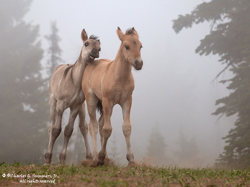 Wild Horse colts in dominance play 0R7E6175 | by WildImages