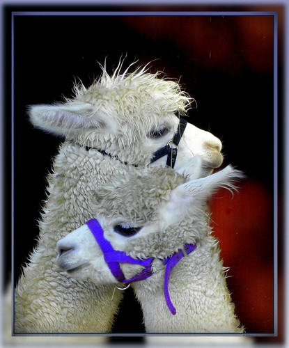 two Alpacas caring for each other | by © the-best-is-yet-to-come ©