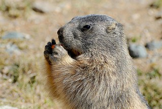 Marmottina-Marmot | by rroby