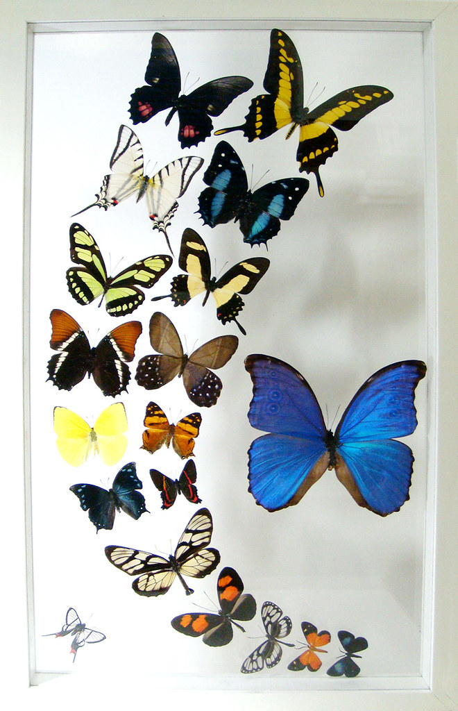 ... The Media Luna Framed Butterfly Art With Blue Morpho Butterfly | By Ben  The Butterfly Guy