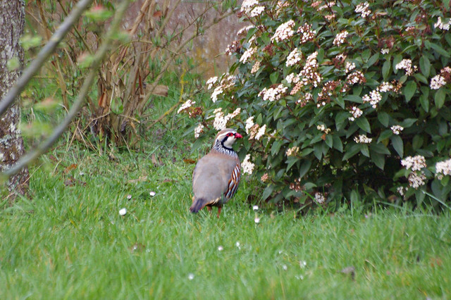 Oiseaux du jardin oiseaux du jardin perdrix rouge flickr for Jardin 4 moineaux