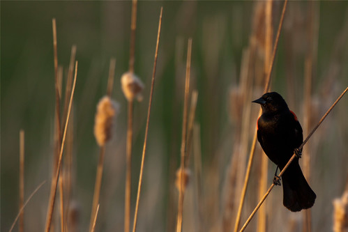 Red Winged Blackbird | by judd.furlong