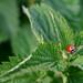 Ladybird & Nettles, Studland Dorset