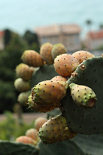 prickly pears | by David Lebovitz