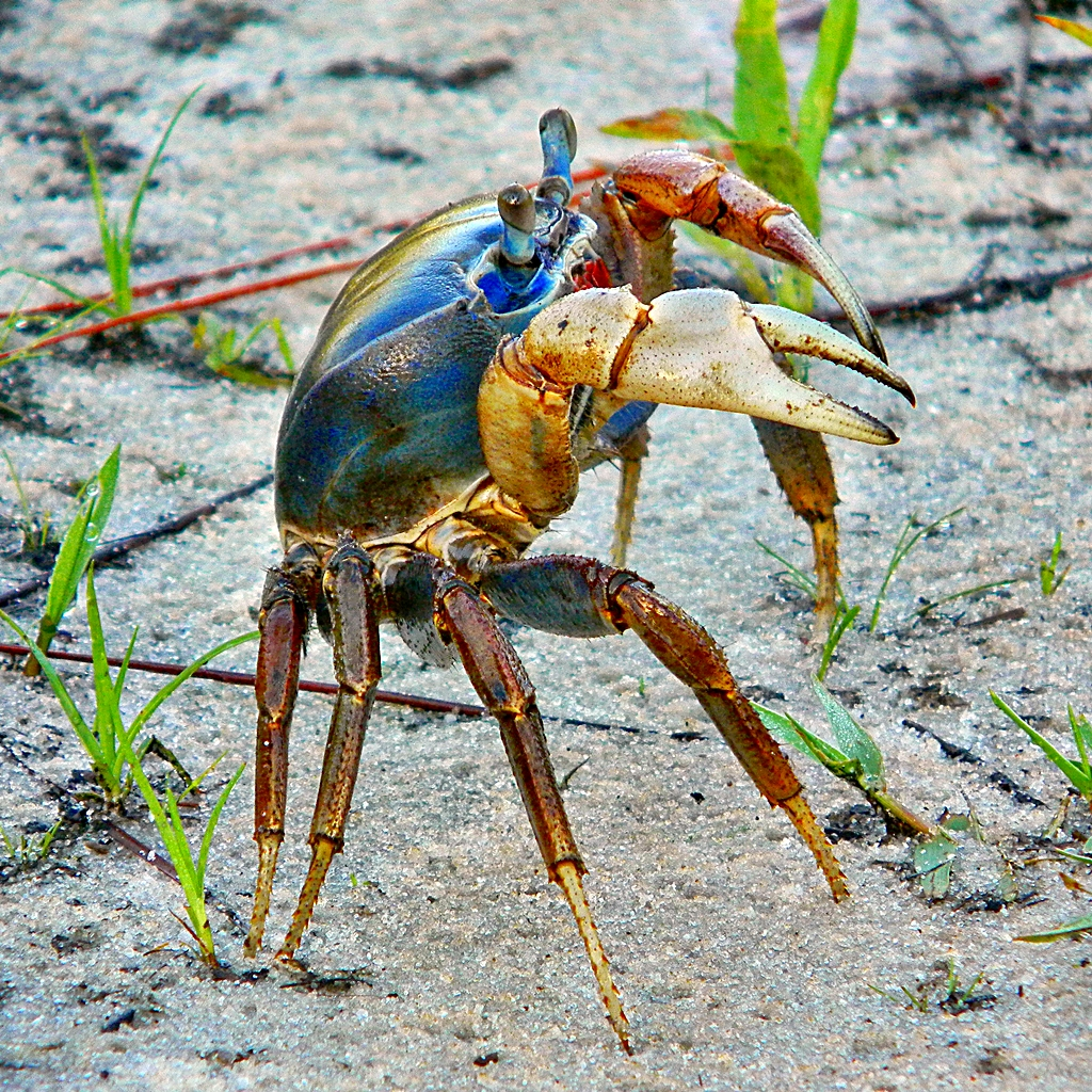 Giant Blue Land Crab Giant Land Crab in